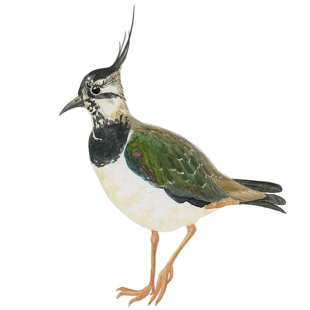Rare European Birds