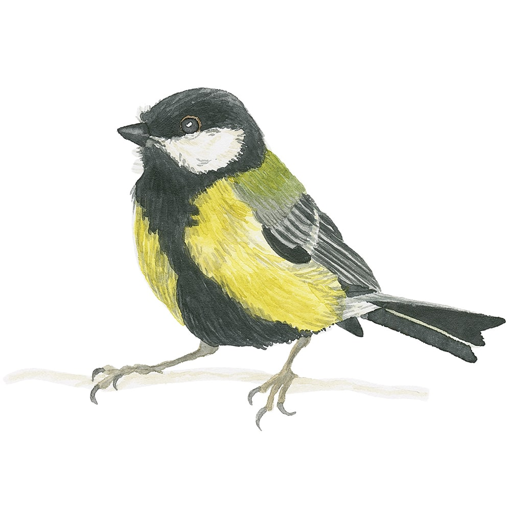 How To Paint A Great Tit In Watercolor – Bird Painting (Video Tutorial)