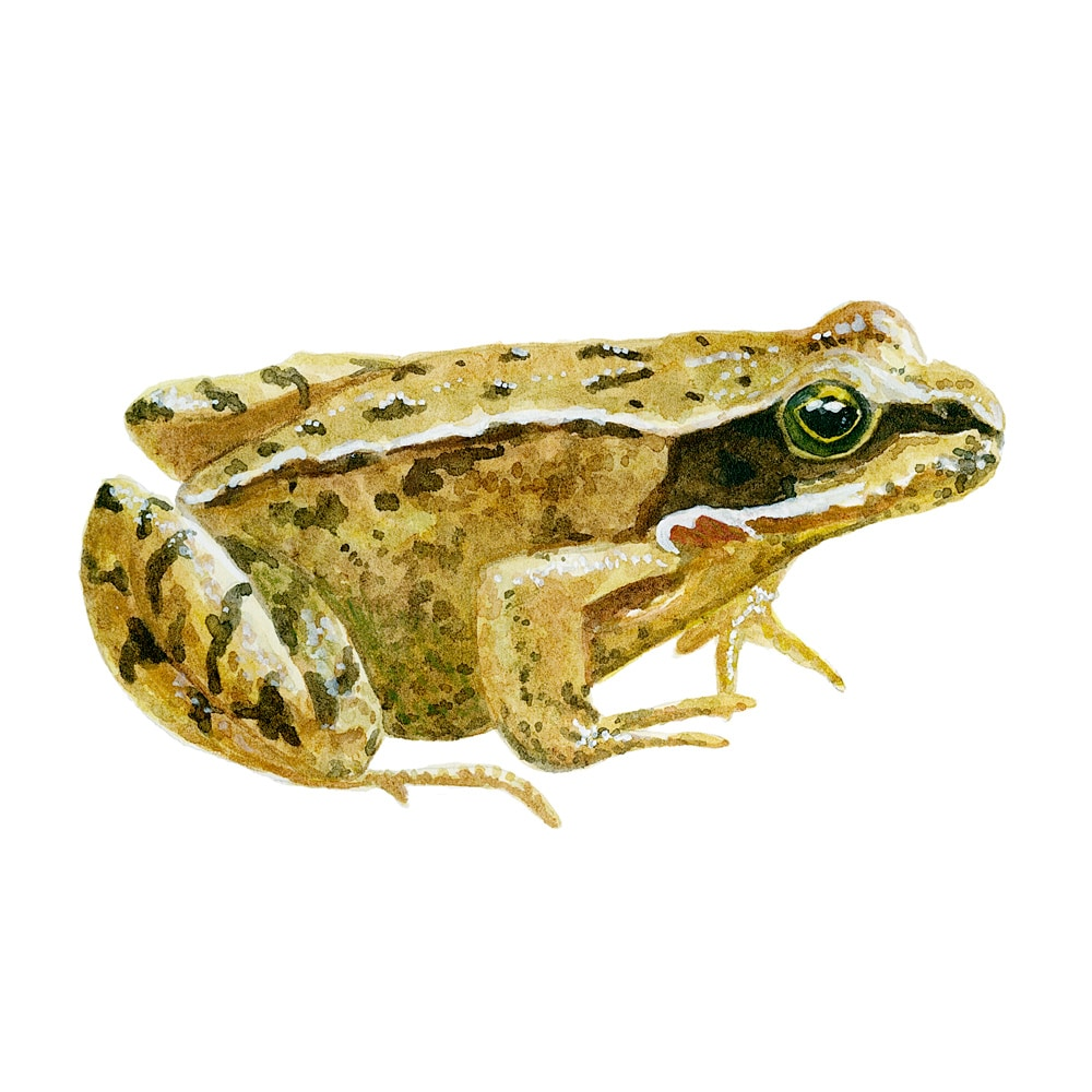 Grass frog in watercolor