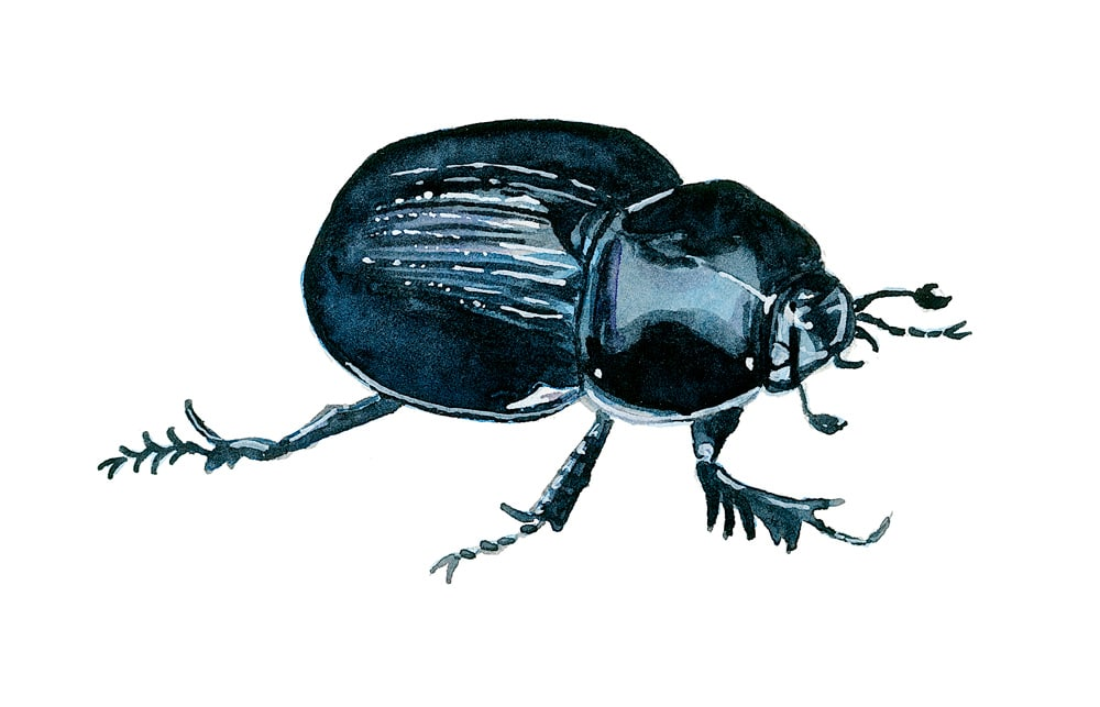 Dung beetle in watercolor