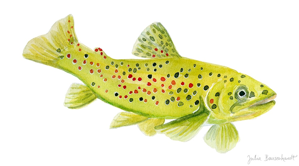 Brown Trout in watercolor