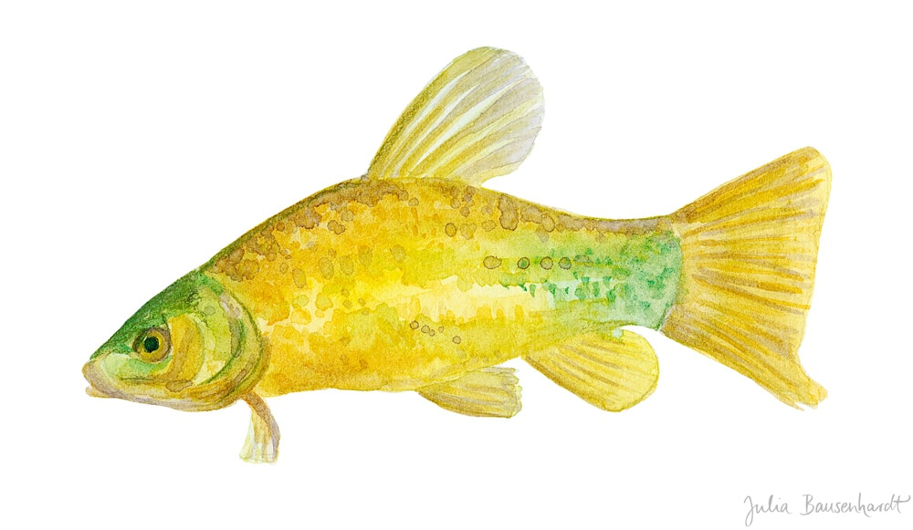 Tench in watercolor