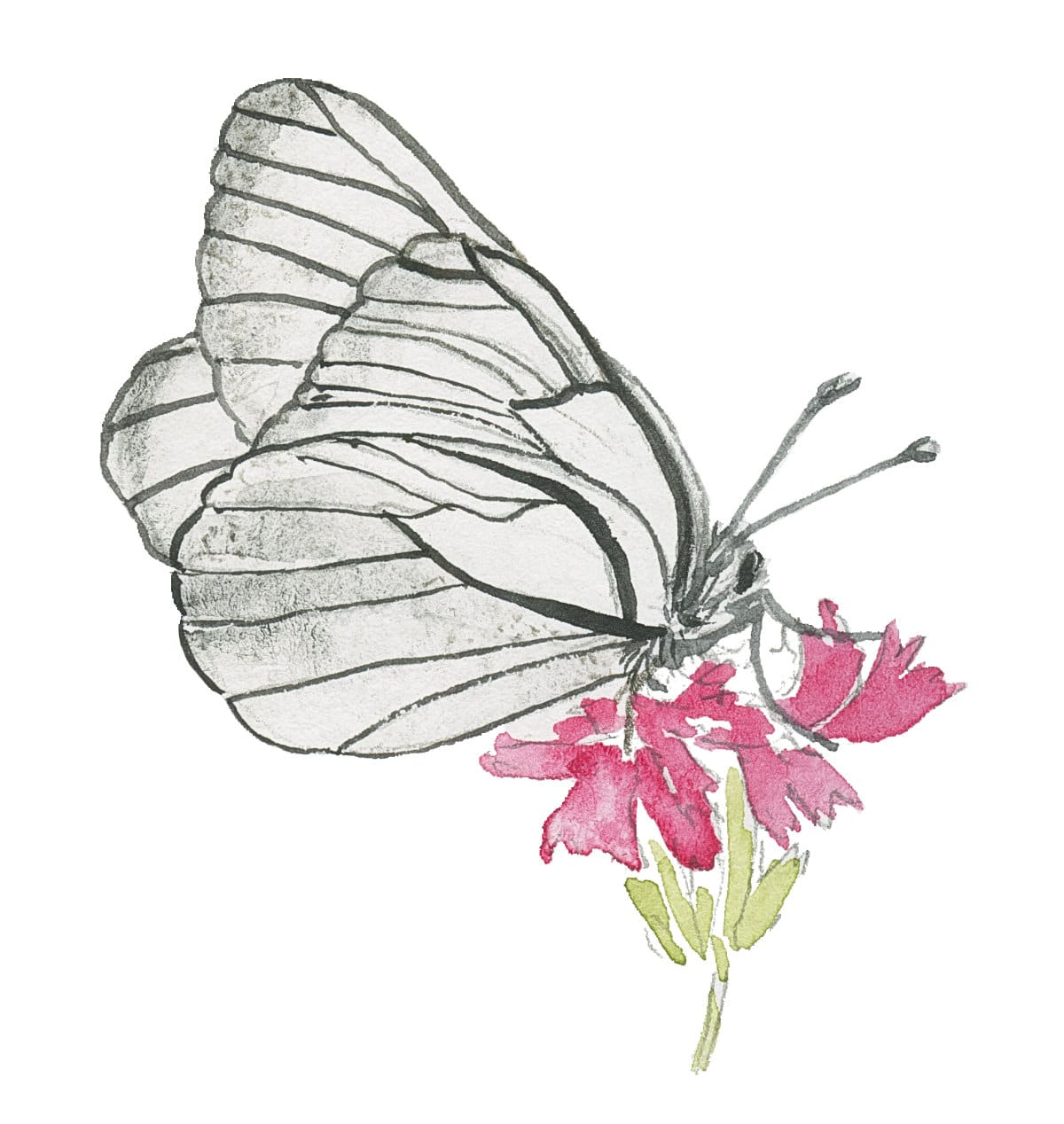 Black-veined White butterfly sketch