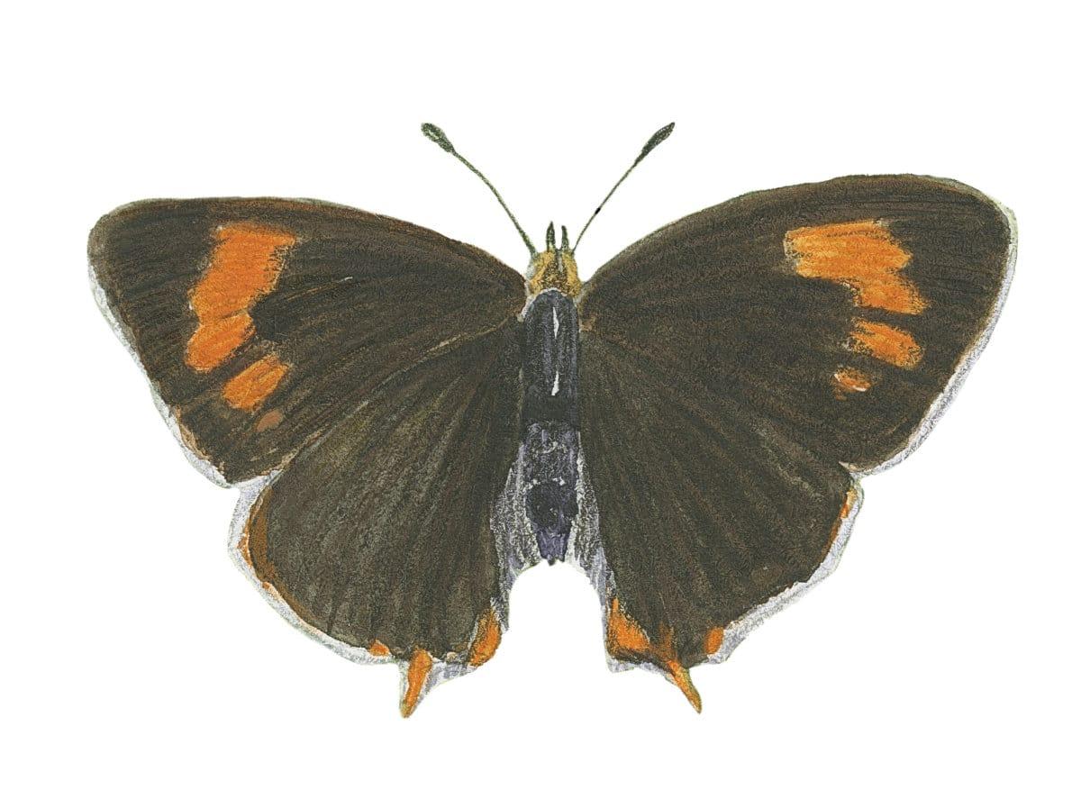 Brown Hairstreak sketch in watercolor