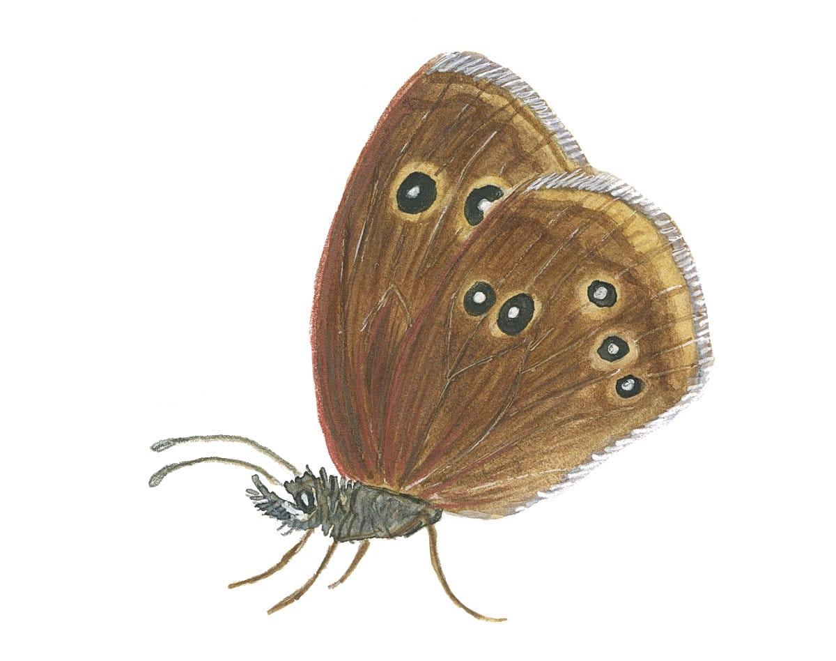 Ringlet butterfly in watercolor