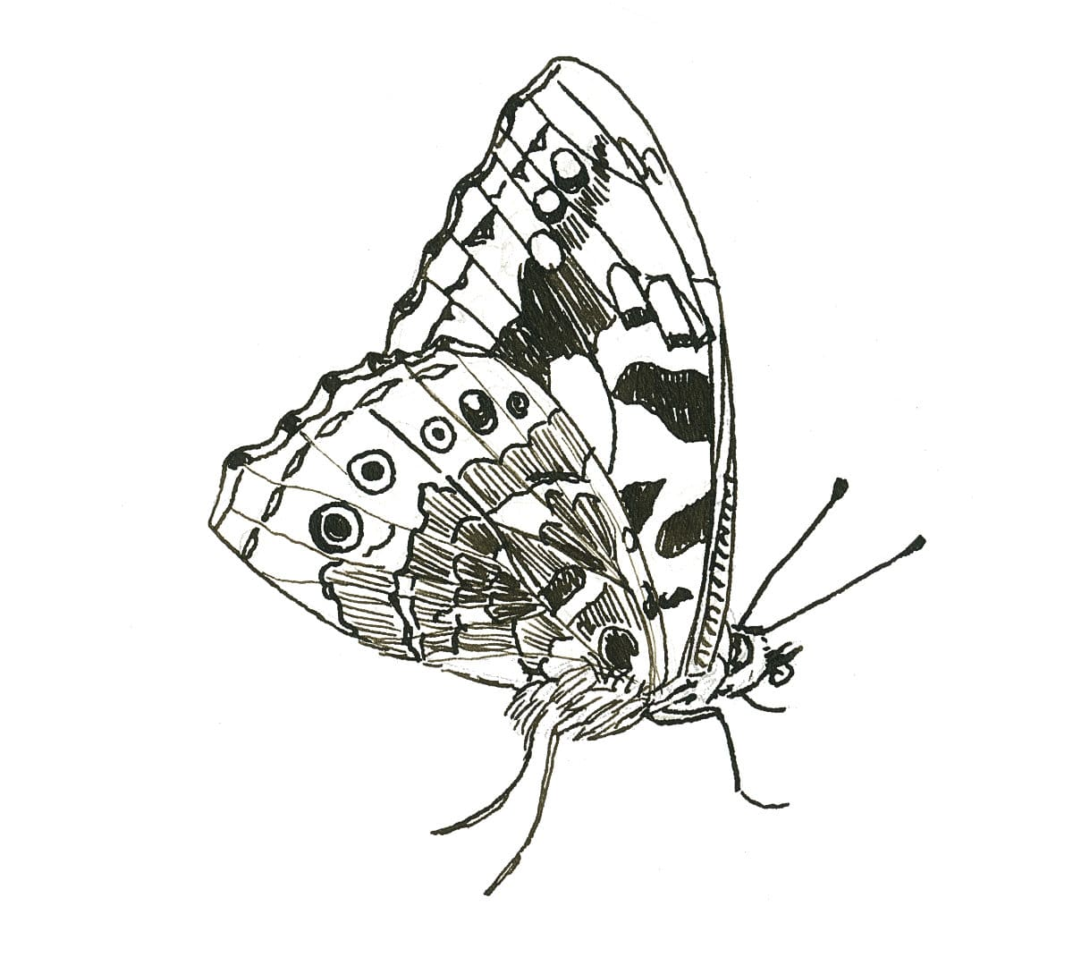 Painted lady butterfly in ink