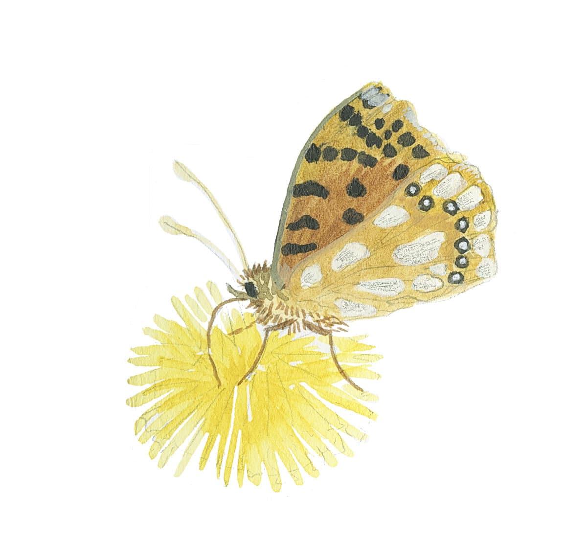 Fritillary sketch in watercolor