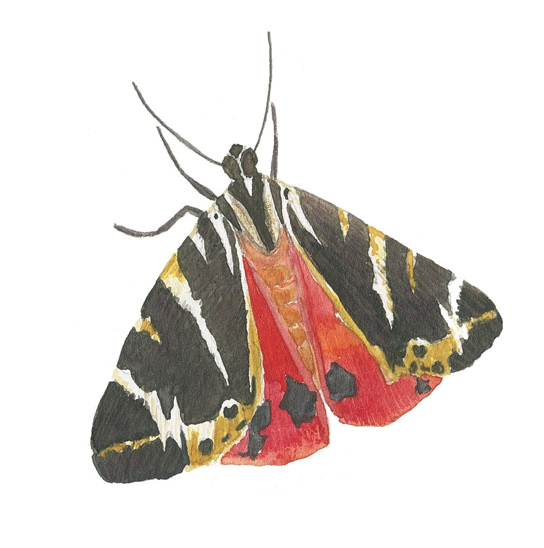 Russian bear moth in watercolor