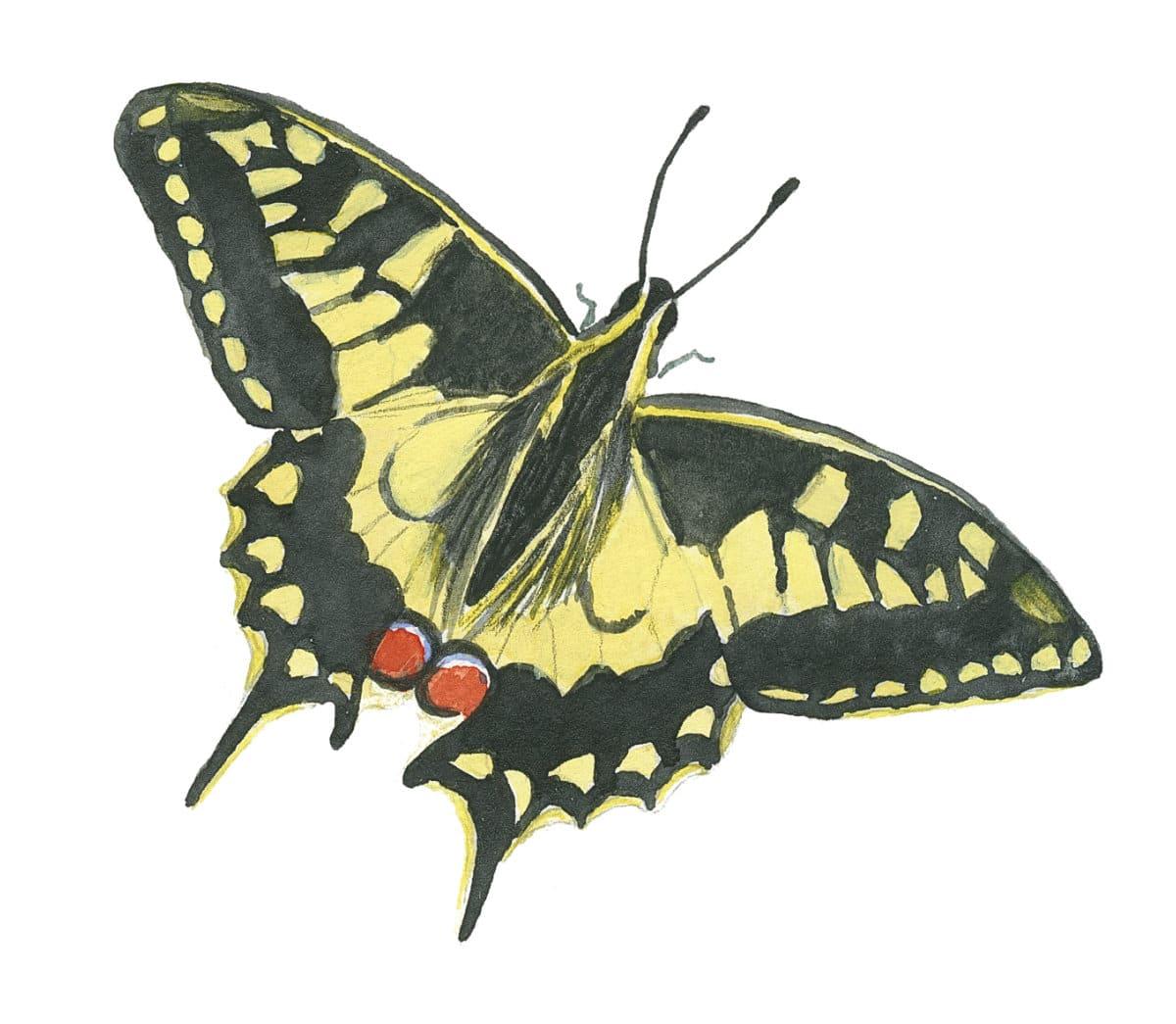 Swallowtail butterfly in watercolor