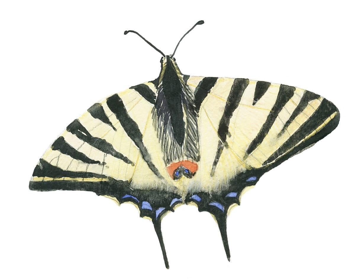 Scarce Swallowtail in watercolor