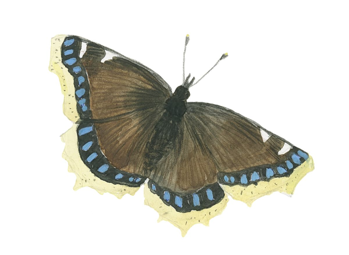 Mourning Cloak Butterfly in watercolor